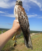 Red-shouldered hawk (hatching year)