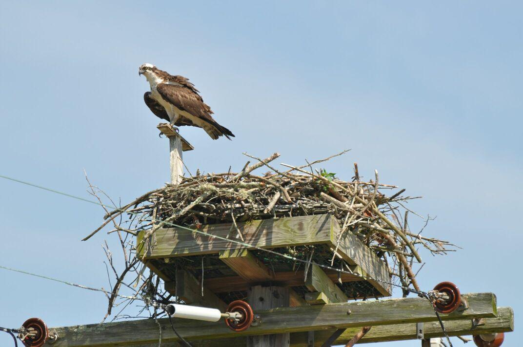 Nesting platform on Utility Pole